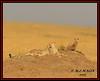 FEMALE CHEETAH WITH HER CUBS (Acinonyx jubatus).....MASAI MARA....SEPT 2015. (M Z Malik) Tags: nikon d800e 400mmf28gedvr kenya africa safari wildlife masaimara kws exoticafricanwildlife exoticafricancats flickrbigcats cheetahfamily ngc