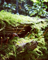 summer 2016 (Quiddity_Way) Tags: moss forest woods lichen