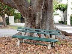 Bench Under Moreton Bay Fig (mikecogh) Tags: northadelaide bench moretonbayfig trunk massive