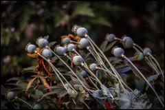 poppy after the storm (Der Zeit die Augenblicke stehlen) Tags: blumenundpflanzen deutschland eos700d fokussiert hth56 hohequalität mohn sommer thomashesse poppy flower light vignette