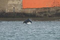 IMG_5729 (monika.carrie) Tags: monikacarrie wildlife scotland aberdeen dolphins dolphin cetacean mammal