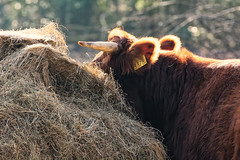 Waha, You Missed Me! (Alfred Grupstra) Tags: cow backlight hay wervershoof noordholland nederland nl