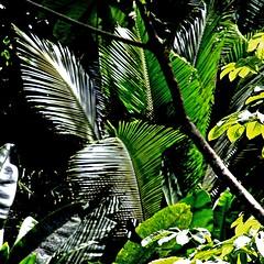 Jungle - Martinique Nord (pom'.) Tags: canoneos400ddigital february 2010 martinique 972 antilles westindies dromcom francedoutremer outremer amérique america europeanunion bassepointe latrinité palmtree 100