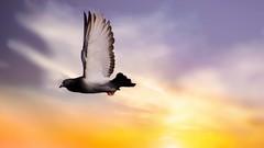 Bonne soirée-Nice Evening (Yasmine Hens +4 500 000 thx❀) Tags: pigeon bird sky hensyasmine namur belgium wallonie europa aaa بلجيكا belgique 7dwf monday