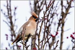 2017 bombycillagarrulus ramsgate uk waxwings winter birds england unitedkingdom gb