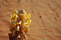 Desert flowers (charlottehbest) Tags: flowers blue orange yellow landscape sand scenery desert offroad 4x4 dunes exploring awesome roadtrip adventure explore february oman breathtaking sanddunes adventuring emptyquarter rubalkhali theemptyquarter offroadoman charlottehbest