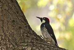 Acorn Woodpecker (nebulous 1) Tags: bird nature fauna nikon texas davismountains acornwoodpecker d40x nebulous1