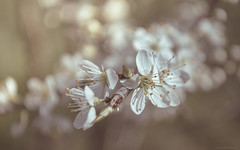 Blossom (Gikon) Tags: flower closeup nikon dof blossom bokeh details 1855mm deptoffield gikon d3100
