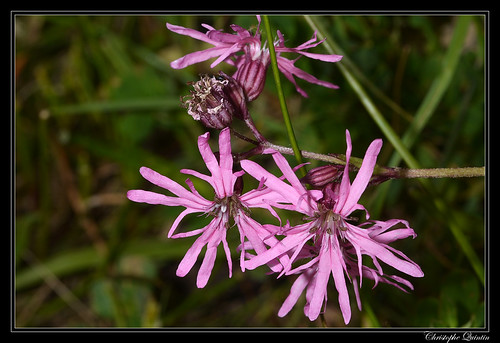 Fleur de coucou (Lychnis flos-cuculi)