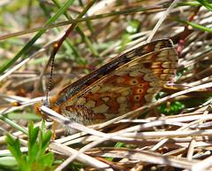 Marsh Fritillary.  Euphydryas aurinia form scotica (gailhampshire) Tags: marsh form fritillary euphydryas aurinia scotica taxonomy:binomial=euphydryasaurinia