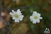 Fiori bianche della Majella - Abruzzo - Italy