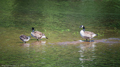 Meet the Goose Family (RGL_Photography) Tags: us newjersey unitedstates wildlife goose monmouthcounty middletown jerseyshore mothernature canadagoose brantacanadensis spillway swimmingriverreservoir nikond610 tamronsp150600mmf563divcusd swimmingriverroad