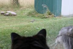 Cat TV (Vasquezz) Tags: cat tv katze fernsehen zarah cattv fussel
