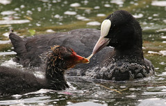 A Mother's Care (Feggy Art) Tags: city white lake black bird nature water canon garden lens eos wildlife feather sigma coot hertfordshire plume 6d herts plumage welwyn fulica 150mm 600mm stanborough rallidae
