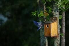 Final Approach (camcleat) Tags: bird nikon outdoor wildlife sb600 ocf pocketwizard strobist d3s dsbcreations
