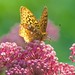 Swamp Milkweed is a Butterfly Magnet