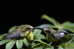 Togetherness (eddie_app) Tags: nature animal belitung nectariniajugularis belitong