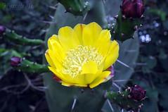 5 Flower (GFerreiraJr ) Tags: flowers brazil cactus flores flower sc brasil de nikon flor gettyimages nationalgeographic cacup d90 micmarayyo nikond90 flickraward nikonflickraward panoramafotogrfico touraroundtheworld flickrunitedaward brasilemimagens gferreirajr