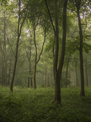 The Woods (Damian_Ward) Tags: wood morning trees summer mist misty fog forest chilterns buckinghamshire foggy bucks beech wendover astonhill thechilterns chilternhills wendoverwoods damianward ©damianward