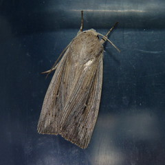Armyworm Moth (Dendroica cerulea) Tags: summer newjersey moth nj insects lepidoptera blacklight noctuidae noctuinae highlandpark arthropoda invertebrate insecta owlet hexapoda middlesexcounty mothlight owletmoth noctuoidea mythimna mythimnaunipuncta armywormmoth leucaniini nationalmothweek thewhitespeck