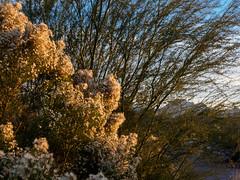 Flowery bush.jpg (melissaenderle) Tags: desert arizona