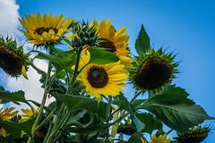Sunflowers (graser.robert) Tags: sun sunflower sunflowers closeup yellow blue summer flower germany thüringen robertgraser photo artist photography reinstädt deutschland de