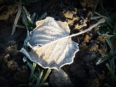 2016-12-27 Beaurepaire (40)frosted leaf (april-mo) Tags: leaves leaf feuille frosted frost gel deadleaves autumnleaves
