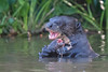 Giant River Otter (Tim Melling) Tags: pteronura brasiliensis giant river otter brazil pantanal timmelling