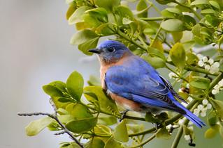 Eastern Bluebird (male) on Mistletoe -Explored- DSC_6519