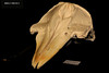 Skull oblique above (JRochester) Tags: rissos dolphin grampus griseus skull nmsz1992622