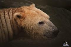 Tierpark Berlin 26.12.2017 016 (Fruehlingsstern) Tags: eisbär polarbear wolodja rothund nashorn stachelschwein tierparkberlin canoneos750 tamron16300