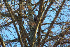 scoiattolo nero, on Metasequoia glyptostroboides (Fabio.Buoso) Tags: scoiattolo nero sciurus vulgaris meridionalis black squirrel