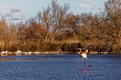 Flamingo 2 (declick) Tags: flamingo pont de gau camargue saintesmariesdelamer provencealpescôtedazur france fr