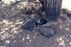 Desert Museum Saguaro NM AZ June 1976 (8).jpg (buddymedbery) Tags: years nationalparks arizona unitedstates saguaronationalmonument 1970s 1976