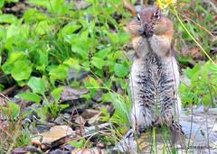 DSC_0665 (rachidH) Tags: squirrel écureuil rodents goldenmantledgroundsquirrel spermophiluslateralis callospermophiluslateralis spermophileàmanteaudoré écureuilterrestreàmanteaudoré spermophileàmanterayée logan pass loganpass westglaciernationalpark montana rockymountains mt rachidh nature