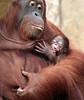 orangutan Lea and baby Krefeld JN6A1868 (j.a.kok) Tags: orang orangoetan orangutan primaat primate azie asia aap ape monkey lea krefeld mammal zoogdier animal motherandchild moederenkind baby