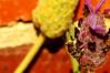 Afranthidium repetitum (Dingilingi) Tags: biodiversity garden urban ecology nature victoria melbourne australia hymenoptera bee nonnative