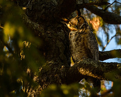Great Hprned Owl 12_25 (krisinct- Thanks for 12 Million views!) Tags: nikon d4 500 f4 vrg