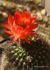 Echinopsis grandiflorus hybrid (l.e.violett) Tags: cactus flower cultivated grandiflorus hybrid echinopsis arizona