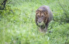 Wet Lion (Sheldrickfalls) Tags: lion lioncloseup lionwalking krugernationalpark kruger krugerpark limpopo southafrica mopani