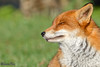 Fox (parry101) Tags: fox foxes animal animals vulpes vulpesvulpes red nature wild redfox outdoor lingfield surrey british wildlife centre