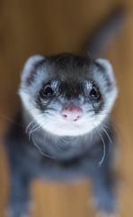 Pitch (lauriepetsitterparis) Tags: animal domestique fufu furet furetsitter nala pitch simba cute mignon petsitter