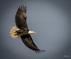 Flying eagle 翱翔 (T.ye) Tags: eagle bald bird wild outside sky animal wildlife outdoor