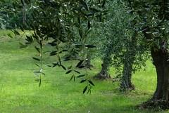 Abruzzo bella (mariarita.g) Tags: abruzzo natura alberi olivo ulivo