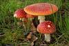 Vliegenzwam (1) (TeunisHaveman) Tags: mushroom natuur paddestoelen 100 panoramio501850441351327