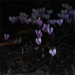 winter treasures (me*voilà) Tags: cyclamenhederifolium cyclamen flowers 25 garden