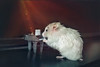 Pequeña concertista (Sol Z.B.) Tags: hamster piano música music mascota pet roedor