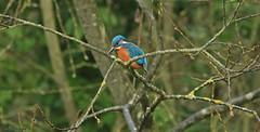 Kingfisher J78A1935 (M0JRA) Tags: kiveton community woodland sunrise kingfisher sky water parks animals birds lakes ponds trees