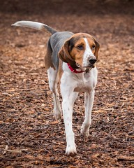 At dog bark... [Explored 2017-01-13] (repete7) Tags: dog mammal blacksburg virginia unitedstates canine dogpark canon canonsl1 canon100d canonefs55250 coonhound treeingwalkercoonhound