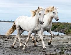 2016 Two Camargue Stallions (13) (maskirovka77) Tags: saintlaurentdaigouze france fr stallion stallions whitehorse whitehorses whitestallion whitestallions createaway photoworkshop